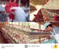 Como aumentar a produtividade das galinhas poedeiras