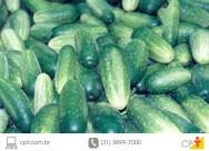 Como cultivar pepino em estufa