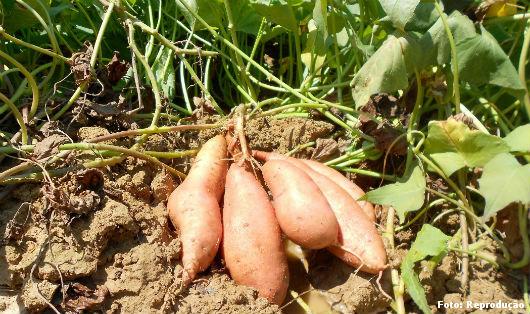 Foto de batata-doce sendo colhida