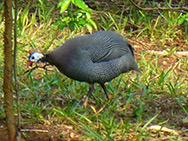 Galinha D'angola -  saiba tudo sobre a cria��o dessas aves