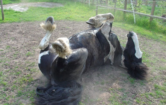 Colica em Cavalos