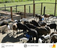 Ração para ovinos pode conter até 20% de farelo de arroz