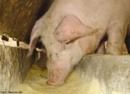 Criação de porcos - importância da alimentação rica em vitaminas na fase de engorda