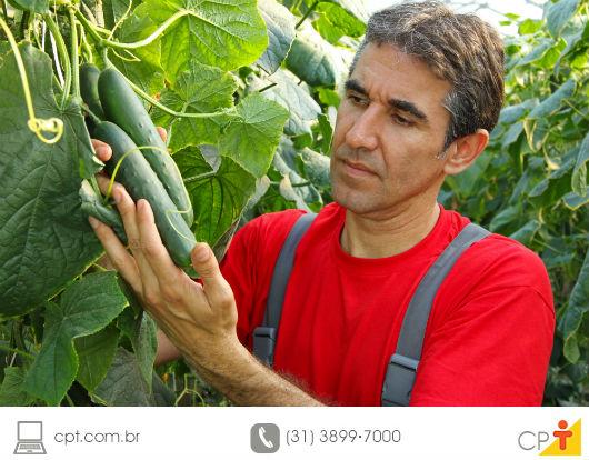 plantação orgânica de pepino