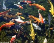 Lago cheio de carpas