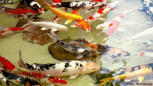 Lago cheio de carpas coloridas