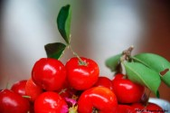 Acerola - boa op��o de renda para a agricultura familiar