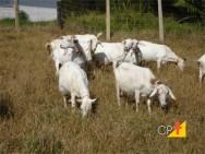 Cabras são alimentadas com cana em época de escassez de alimento