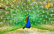 Saiba tudo sobre criação de pavão