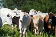 6 fatores que garantem o sucesso da pecuária de corte