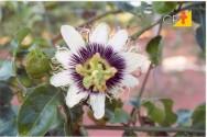 Como ocorre a polinização do maracujazeiro (Passiflora edulis)