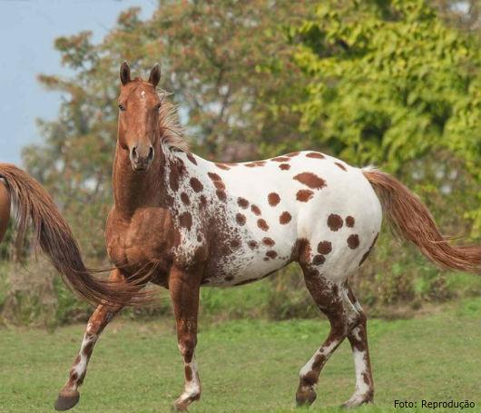 Resultado de imagem para appaloosa cavalo