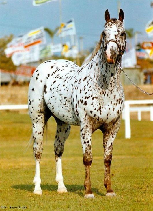 A maior característica dessa raça é a pelagem com pintas pequenas ou manchas escuras - Artigos CPT