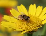 Por que preservar as abelhas? Porque dependemos delas