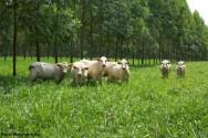 Integração lavoura-pecuária-floresta recupera pastos degradados