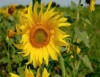 Girassol produz biodiesel, mel, óleo, ração para animais e cosméticos