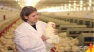 Ra�a ou linhagem: como classificar os frangos?