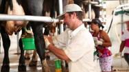 Você sabe preparar as vacas corretamente para a ordenha?