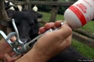Por que vacinar os bovinos?