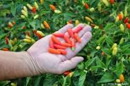 Como colher pimenta corretamente