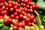Qual é o ponto ideal de colheita do café?