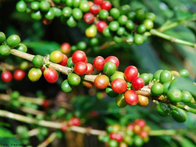 Colheita do café antes de ocorrer a maturação dos grãos - Artigos Cursos CPT