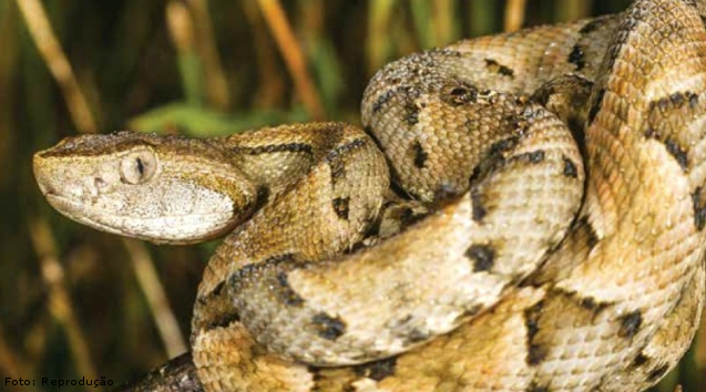Quais as principais e mais importantes serpentes do Brasil?   Artigos Cursos CPT