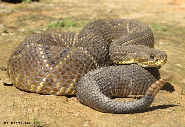 Principais e mais importantes serpentes do Brasil: cobra Cascavel  Artigos Cursos CPT