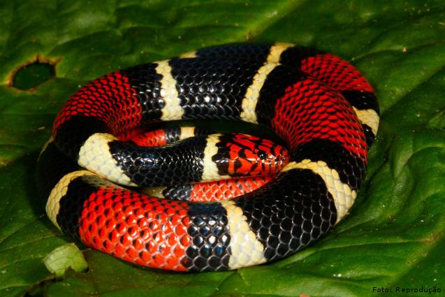Principais e mais importantes serpentes do Brasil: cobra Coral  Artigos Cursos CPT