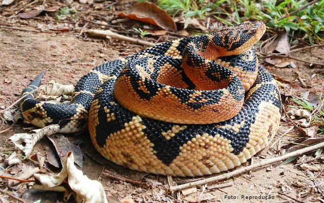 Principais e mais importantes serpentes do Brasil: cobra Surucucu  Artigos Cursos CPT