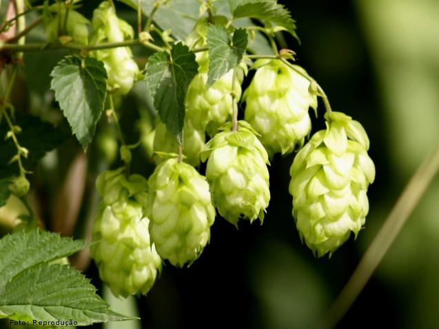 Importância do lúpulo na fabricação de cerveja artesanal: conservação    Artigos Cursos CPT