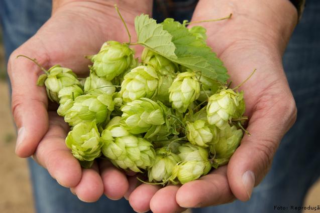 Importância do lúpulo na fabricação de cerveja artesanal: aroma e sabor    Artigos Cursos CPT