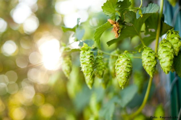 Importância do lúpulo na fabricação de cerveja artesanal: amargor    Artigos Cursos CPT