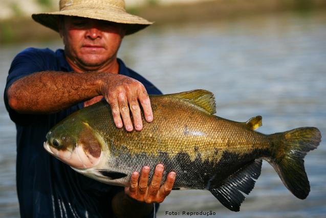 Criação de peixes no AM, principalmente Tambaqui, está em alta -  Notícias CPT