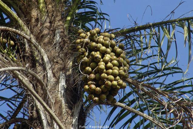 Por que investir no plantio da Palmeira Macaúba?   Artigos Cursos CPT