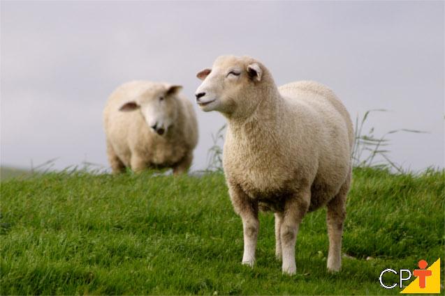 Cruzamento absorvente em ovinos