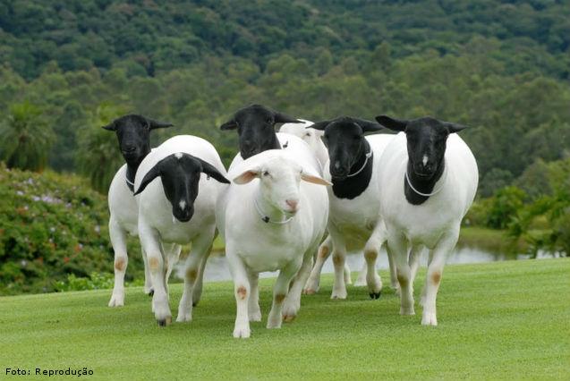 Cruzamento absorvente de ovinos de corte: como fazer?   Artigos Cursos CPT