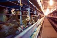 Criação de galinhas em gaiolas: equipamentos necessários