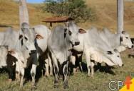 Importância do melhoramento genético para a pecuária