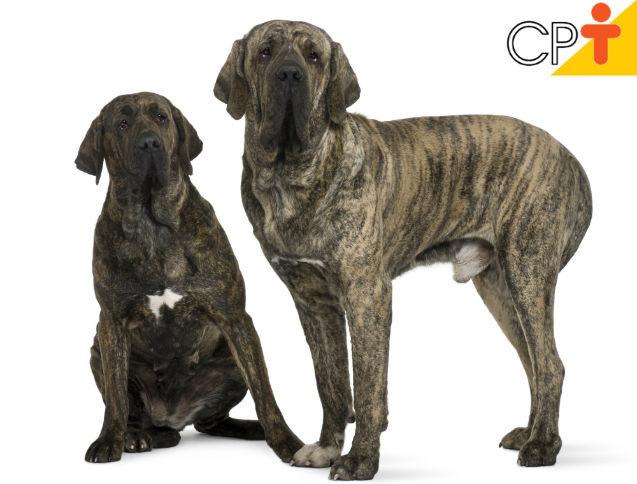 Fila Brasileiro: conheça as características desse cão   Artigos Cursos CPT