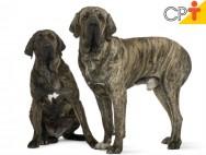 Fila Brasileiro: conheça as características desse cão
