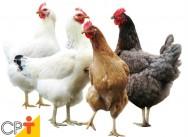Como forçar a renovação de penas das galinhas?