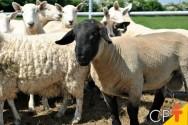 Cruzamento triplo em ovinos de corte: como fazer