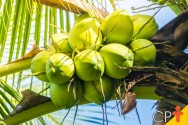Mudas de coqueiro anão: como obtê-las
