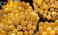 Qual é o substrato ideal para o cultivo do milho hidropônico?