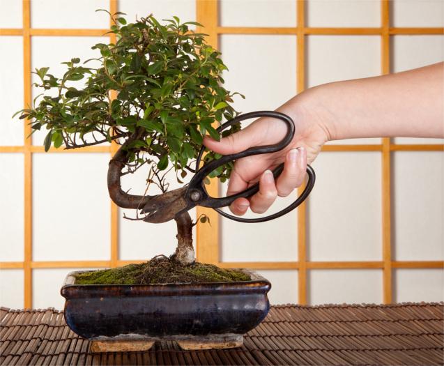 Poda de um Bonsai