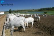 Importância da mineralização de bovinos