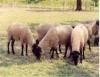 Ovinos e caprinos têm alimentação auxiliar durante a estiagem