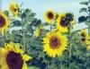 Cultivo e processamento de girassol, a planta mais completa, para todos os usos