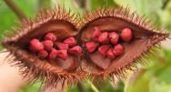 http://cptstatic.s3.amazonaws.com/imagens/enviadas/materias/materia1918/m-urucum.jpg